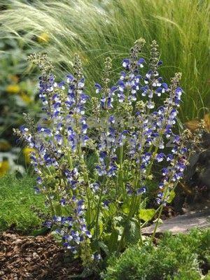 """Salvia pratensis """" Madeline """" ® - šalvěj luční"""