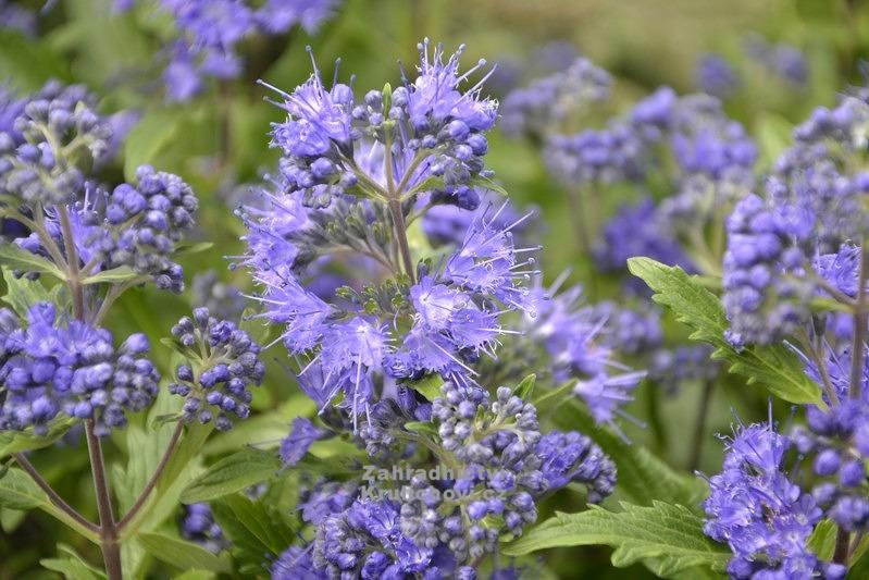 caryopteris x clandonensis heavenly blue. Black Bedroom Furniture Sets. Home Design Ideas