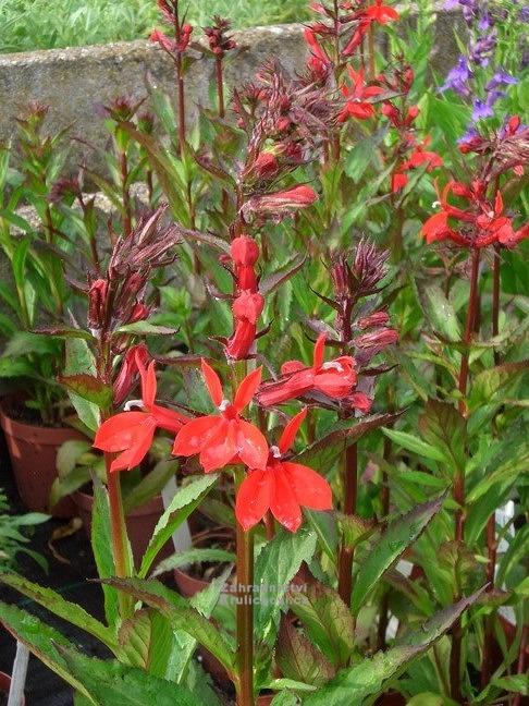 Lobelia X Speciosa Starship Scarlet Lobelka Zahradnictví