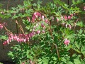 Dicentra spectabilis - srdcovka
