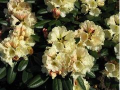 Azalky a rododendrony prodej